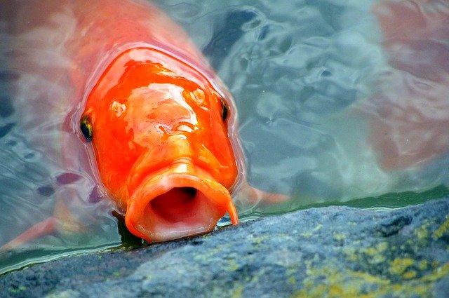 Koi Fish Found In Texas Waterway
